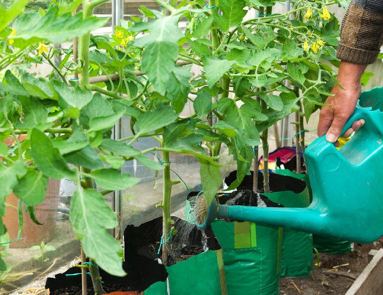 Wann Werden Tomaten Gepflanzt